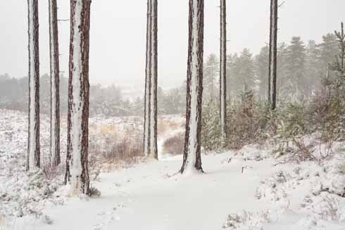 As well as falling on the ground, snow falls and sticks on cold vertical surfaces when winds blow softly and consistently from one direction. These trees in Wareham Forest show the resultant effect.