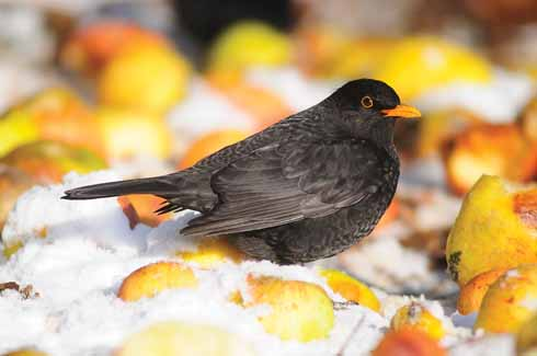 This blackbird is making the most of these windfall apples to take on some much-needed energy