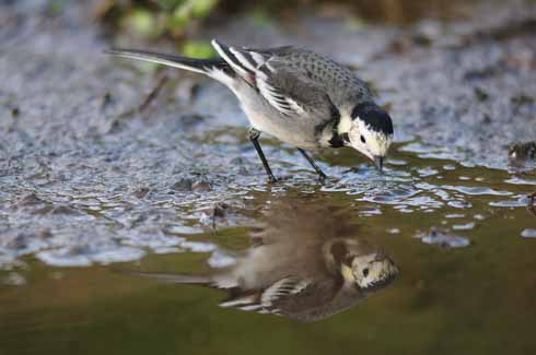 A pied wagtail makes the most of an unfrozen stream in a Dorset winter