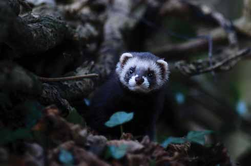 A polecat emerges from a hole under a tree