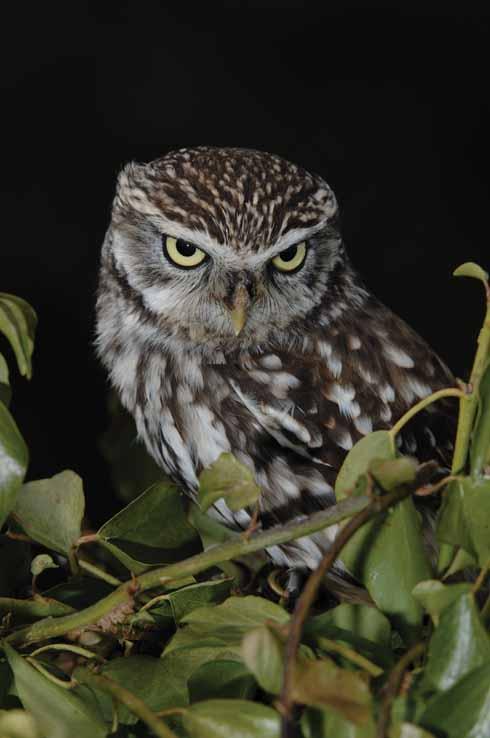 317EdCVWY_LITTLE OWL D9.4.174