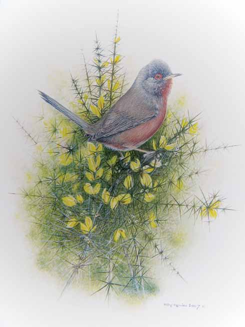 Roy Aplin's beautiful painting of the instantly recognisable Dartford Warbler