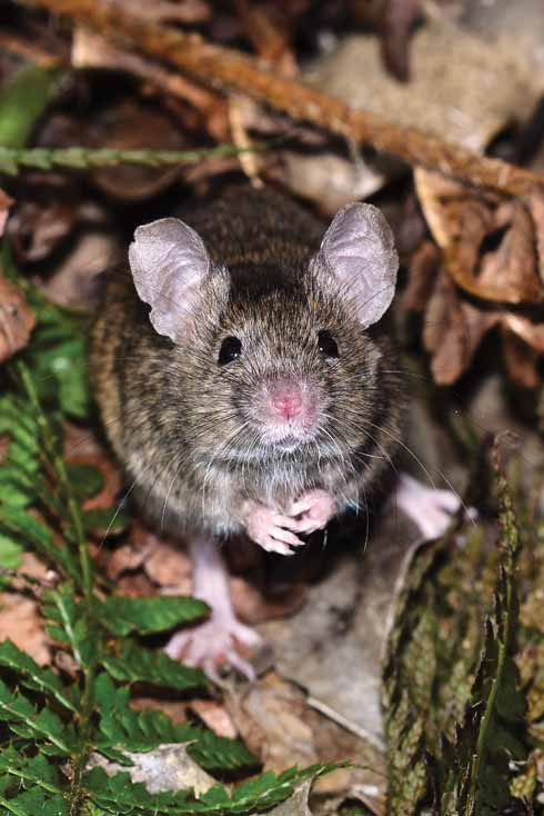 HOUSE MOUSE Mus domesticus