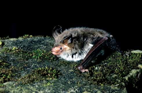 Bechstein's bat, a stable population of which is supported at DWT's Brackett's Coppice