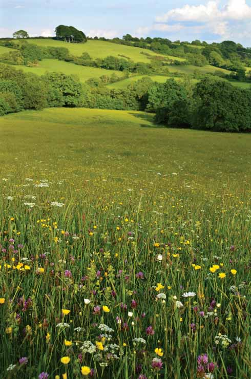 A wildfower meadow, once so characteristic of Dorset's fields, now a rarity outside of DWT reserves (image: Mark Heighes)