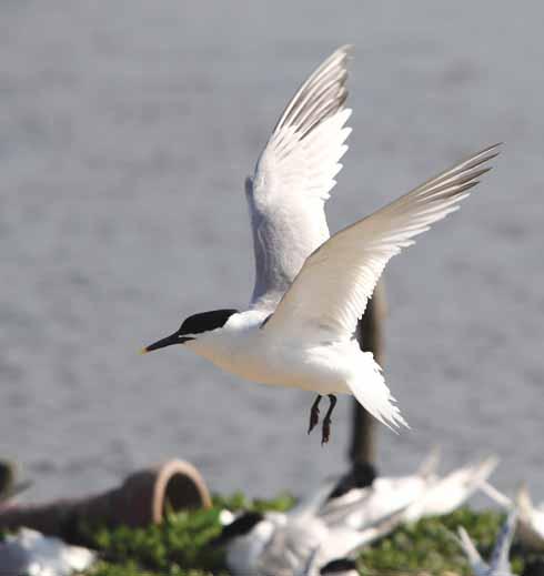 A Sandwich tern