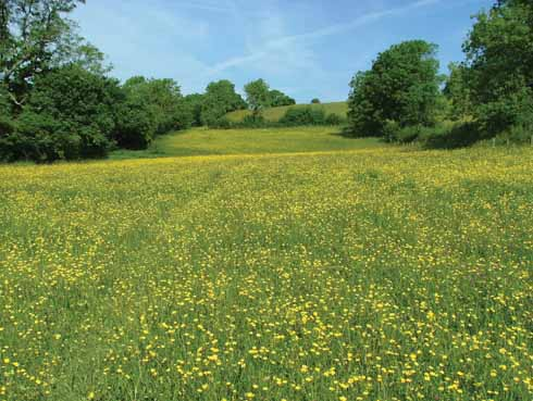 A sea of buttercups at Kingcombe