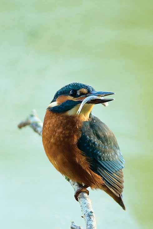 As predators, kingfishers are good indicators of a river ecosystem's health
