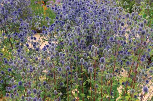 Eryngium self seeds readily in the gravel garden